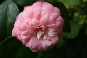camellia in rose 6 by ingeline-art