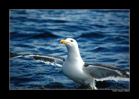 Proud to be a gull by grugster