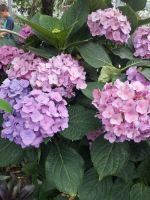 Pink and Purple Hydrangea Flowers by Metacharis