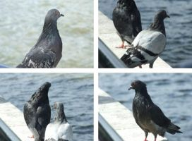 Pigeons. by GoldenGirls