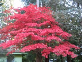 Japanese Maple Full by Naznat