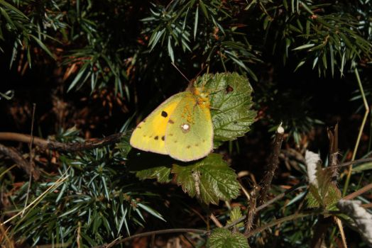 Dark Clouded Yellow, le Souci by SinAel76
