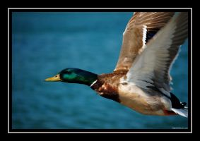 Duck in flight by martinshiver