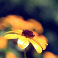 Black Eyed Susan by incolor16