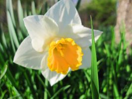 Narcissus, Div 2, Flower Record by Lark-Catalpa-Royal8