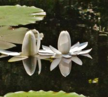 Water Lilies With Reflections by Matthew-Beziat