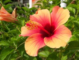 Another Orange Hibiscus by Fully-Stocked
