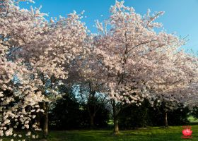 Cherry Blossom Trees by MeKamalaPhotography