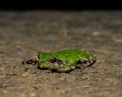 Portrait of a Treefrog by Kyle197