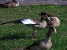goose 06 by Pagan-Stock