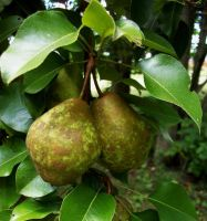 Blotched Pears by snathaid-mhor