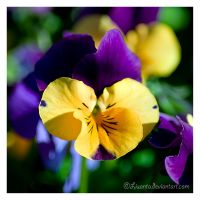Pansy by Liuanta