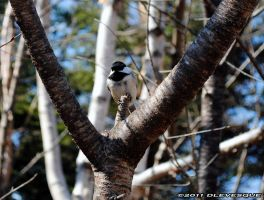 Chickadee watching by imonline