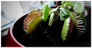 Venus Flytrap by ThoughtMemory