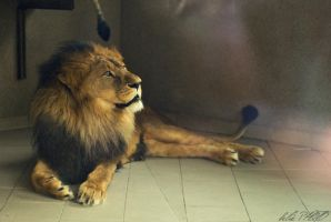 Lion by belie-photo