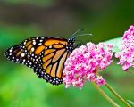 Monarch on Milkweed by CRGPhotography