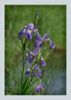 Blue Flag Iris by barcon53