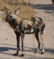 African Wild Dog 2 by Confussed-Stock
