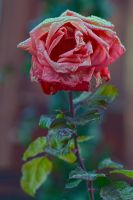 December Rose 2013 by organicvision