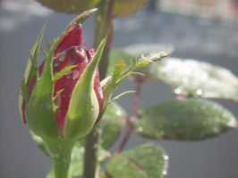 Macro Rose Photography (Rosebud in Bloom) by TornadoGleam