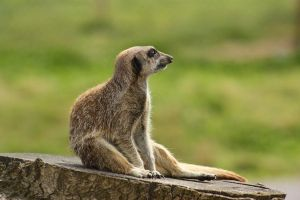 Meercat stock 1 by A68Stock