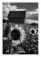 tournesol by Annabelle-Chabert