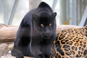 Black Jaguar 6 by 8TwilightAngel8