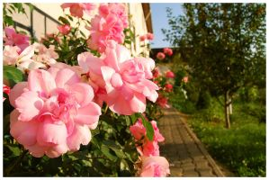 Pink roses by cipriany