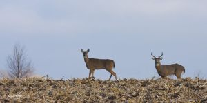 Horney Buck and Doe by DGAnder