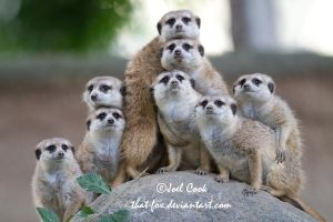 Meerkat Clan Photo Plus One by that-fox