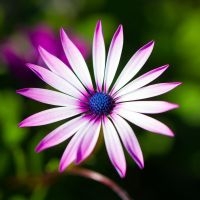 Purple Daisy - 01 by shiroang