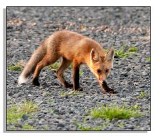 Red Fox - 2 by bp2007