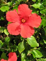 Simple Hibiscus by Dreyco