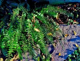 Christmas fern in late sun 3 by marshwood
