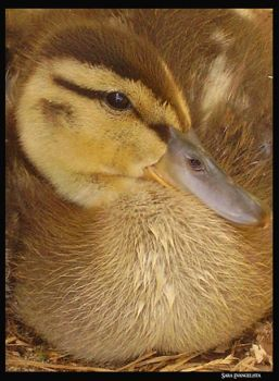 Duckling by TheMagicLady
