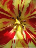 red and yellow tulip by alexandra-maria
