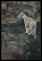 White Tiger Cub by hoboinaschoolbus