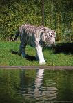 White Tiger by JWabbit