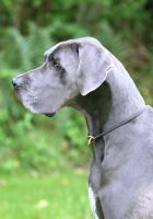 Mr Great Dane by SaNNaS