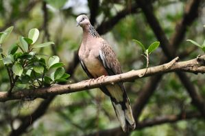 KL-Turtle Dove I by ImLookingForTime