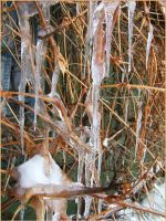 Icicles on vine by mirator