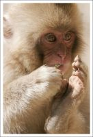 Japanese Macaque - 7933 by eight-eight