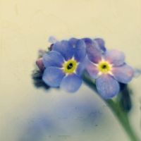 forget.me.not by Lady-Twiglet
