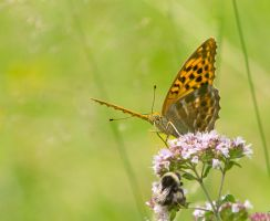 Silver-washed Fritillary by Parides