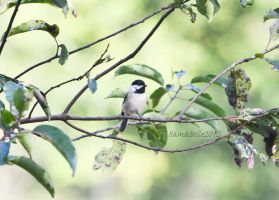 Chickadee by BamaBelle2012