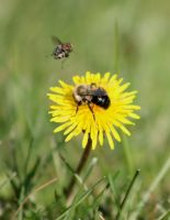 Bee III + Fly by Verenth