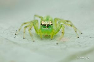 Jumping Spider Retinal Movement by melvynyeo