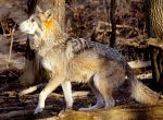 Mexican Wolf Stock 13: Jumping by HOTNStock