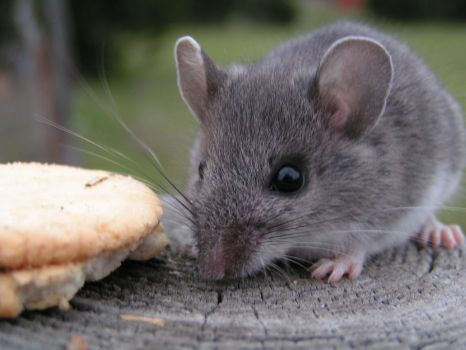 If You Give a Mouse a Cookie by Ocora