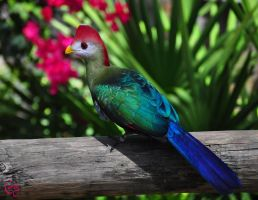 Red Crested Turaco by CoreyChiev